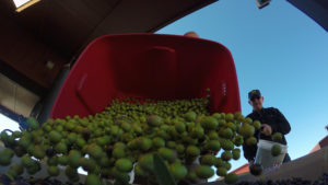 view from below of olives being dumped from a harvest bucket